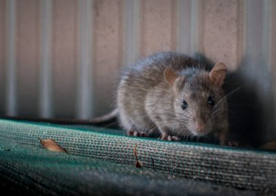Rodent Rat Mouse
