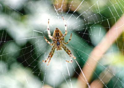 Spider Infestation Removal