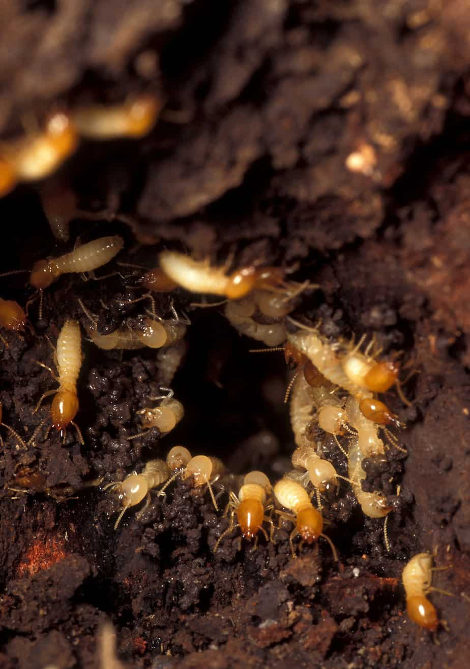 Pest Control Dr Termites Safe Pest Removal Termite Experts
